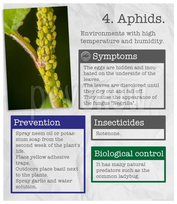 "Identify the plague ""Aphids""."