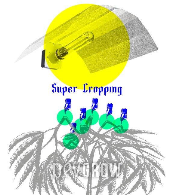 Zeichnung einer Cannabispflanze, bei der Super Cropping angewendet wurde*