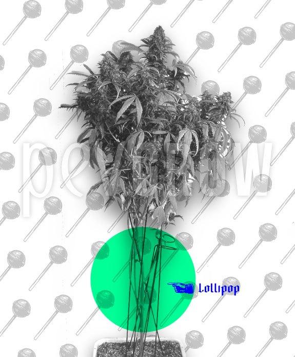 fotografía donde se ve un cultivo de interior de marihuana con poda de bajos*