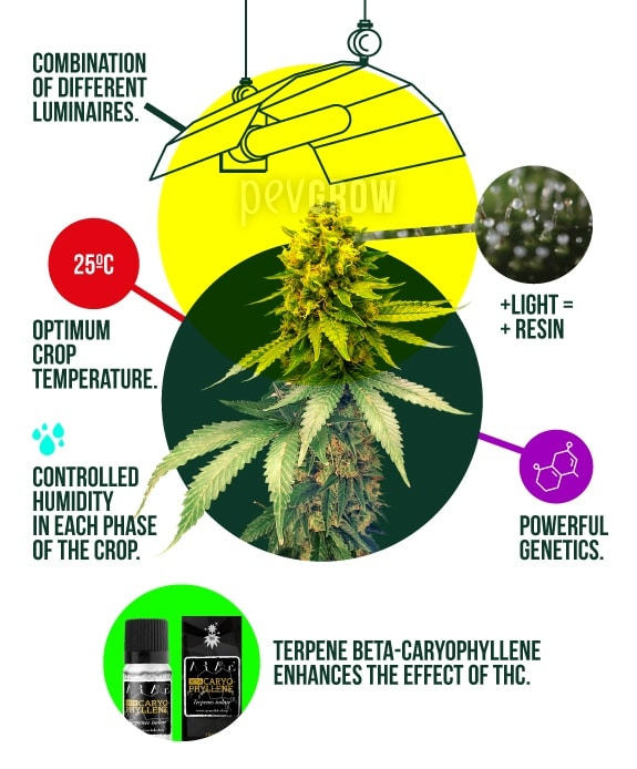 illustration showing the ideal parameters in indoor cannabis cultivation*