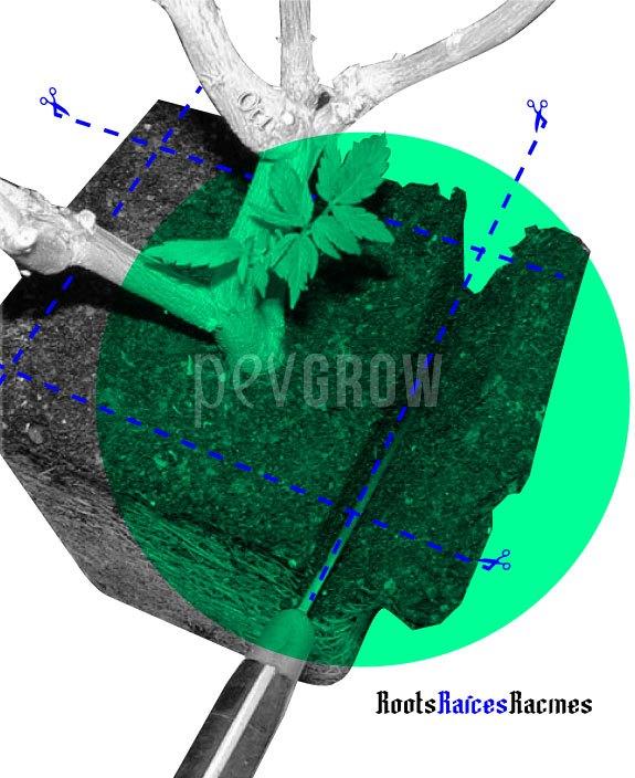 imagen de una planta madre a la que están haciendo una poda de raíces*
