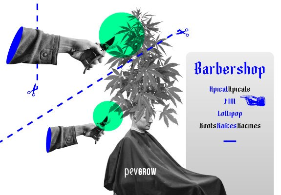 Image representing a barber prepared to carry out a pruning to a plant of marijuana