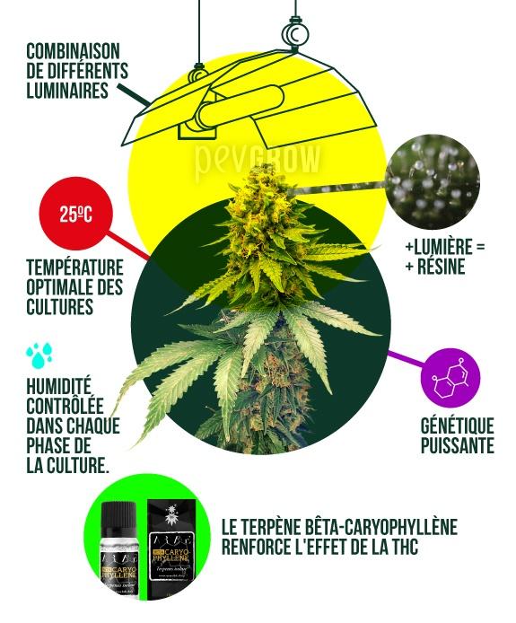 illustration montrant les paramètres idéaux pour la culture du cannabis en intérieur*.