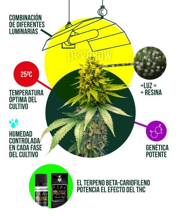 ilustración que muestra los parámetros ideales en un cultivo indoor de cannabis*