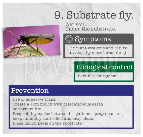 "Identify the plague ""Substrate fly""."