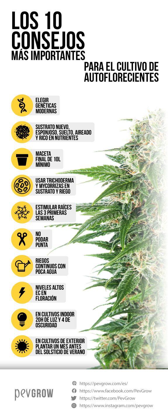imagen de una infografía que representa la mejor forma de cultivar autoflorecientes*