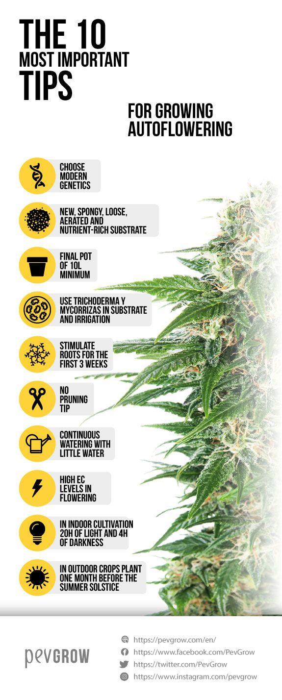 image of an infograph that represents the best way to cultivate autoflowering varieties*