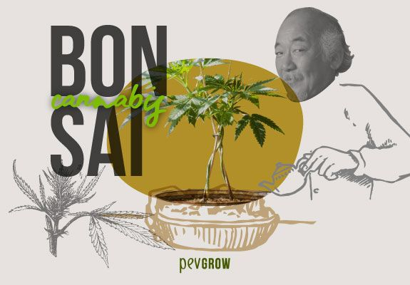 Photo showing Miyagi watering a marijuana bonsai