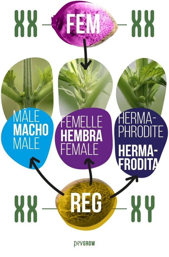 imagen donde se ve a una semilla de una variedad regular comparándose con una feminizada*