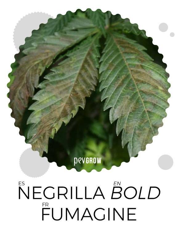Los efectos del hongo Negrilla en la marihuana