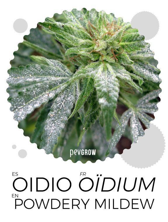Los efectos del oidio en la marihuana