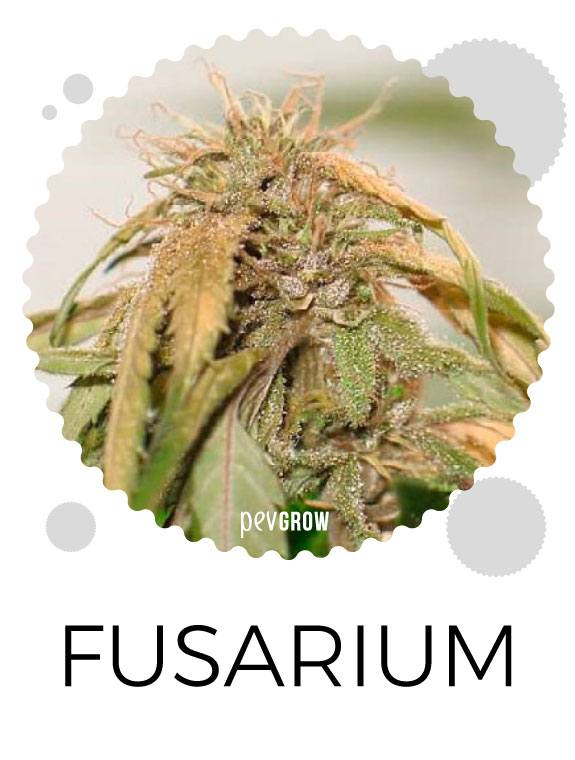 Effects of Fusarium on cannabis