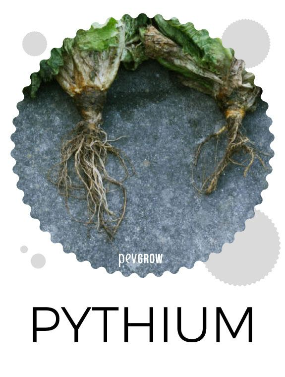 Effects of Pythium on cannabis