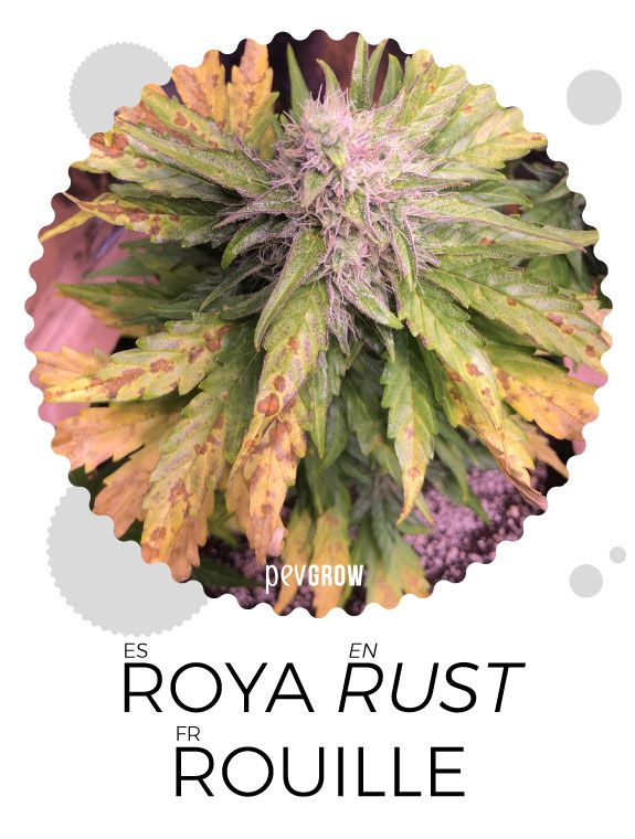 Effects of Rust on cannabis