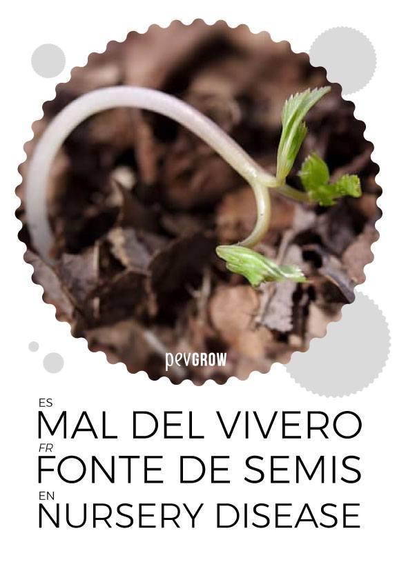 Les effets de la Fonte de semis ou Damping-off sur le cannabis