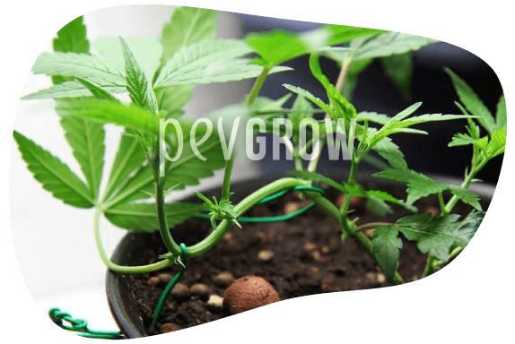 imagen de una planta madre empezando a ser entrenada para convertirse en bonsái*
