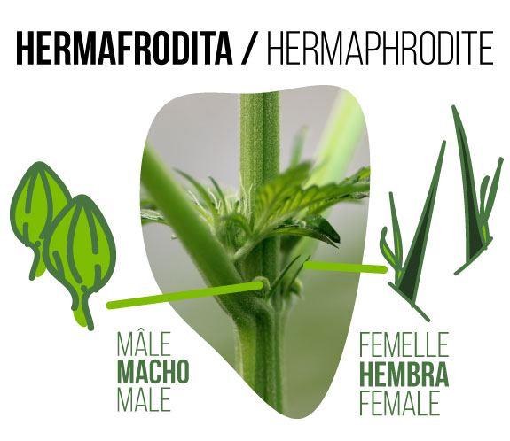 photo d'un bourgeon de cannabis hermaphrodite où l'on peut voir des fleurs mâles et femelles*.