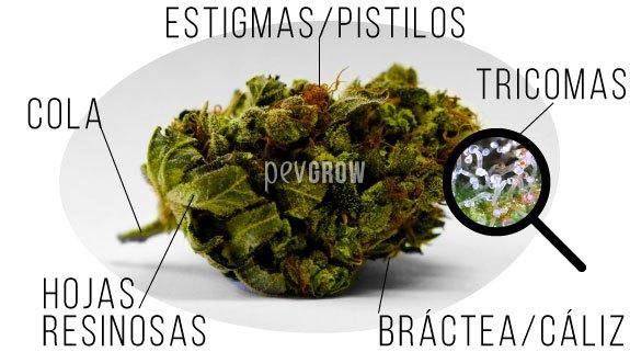 Las 5 partes diferenciadas de un cogollo de marihuana