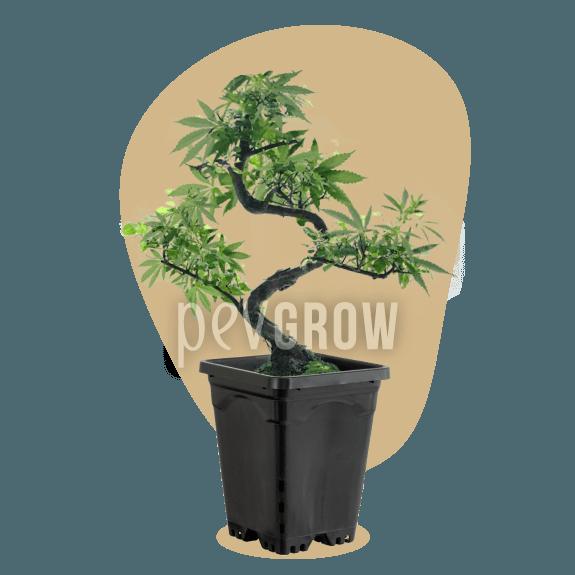 Bild einer Bonsai-Mutterpflanze, die über 1 Jahr in einem Topf von weniger als 1 Liter Inhalt erhalten wird *