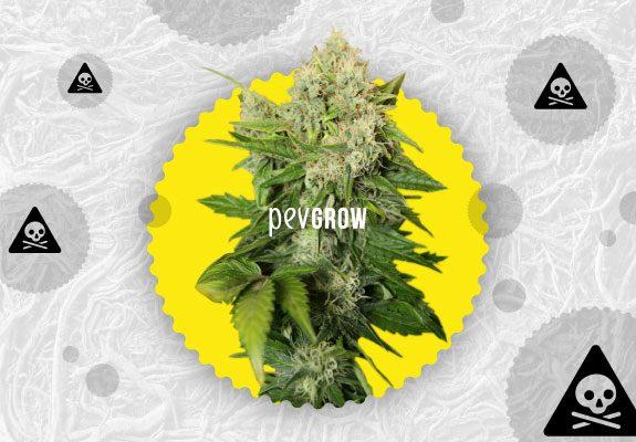 Image d'une plante de cannabis avec des signes de danger qui planent à l'arrière-plan.