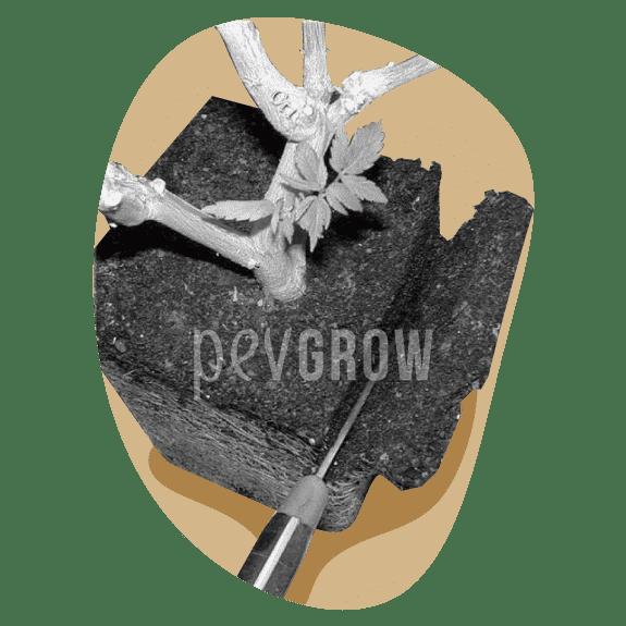 Bild des Schneidens der Wurzelmasse einer Bonsai-Pflanze*