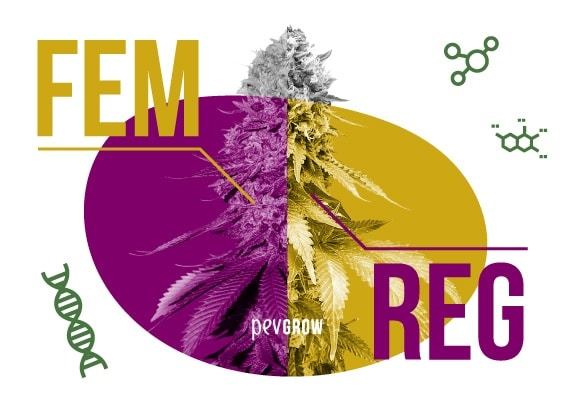 Feminized Vs Regular seeds pros and cons