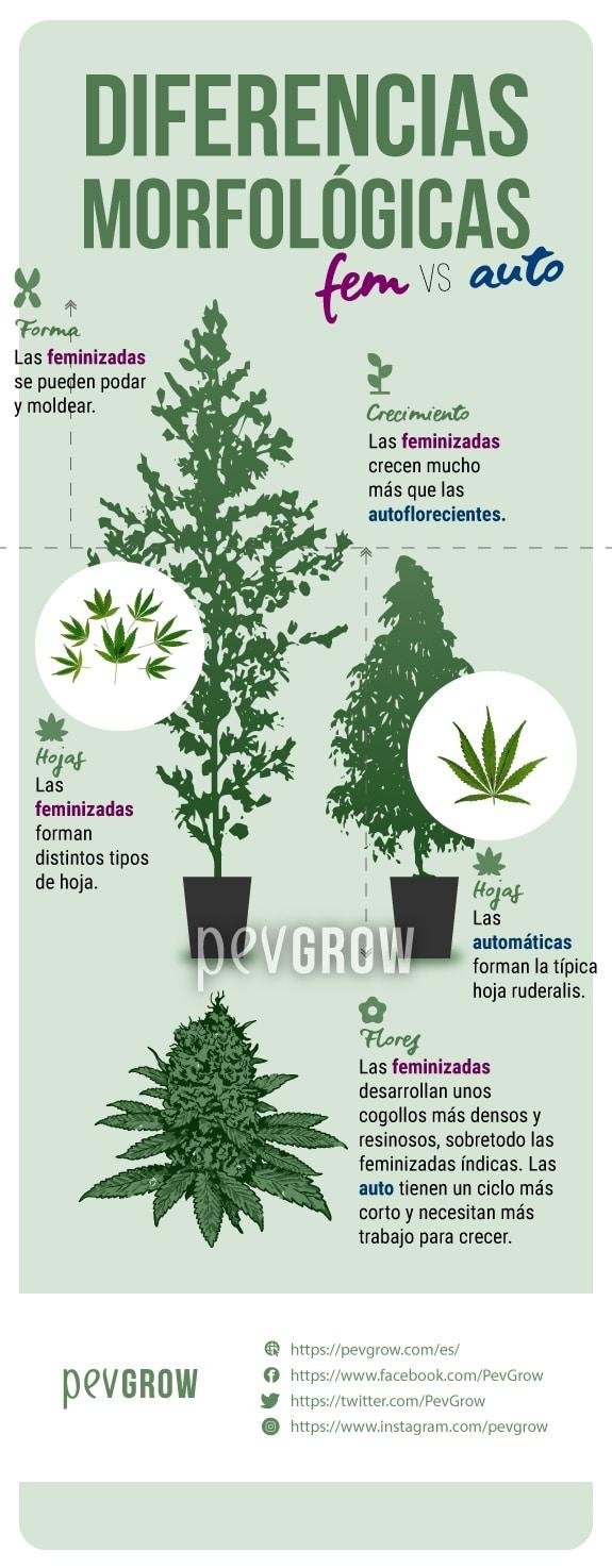 imagen que muestra las diferencias morfológicas entre las autoflorecientes y las feminizadas*