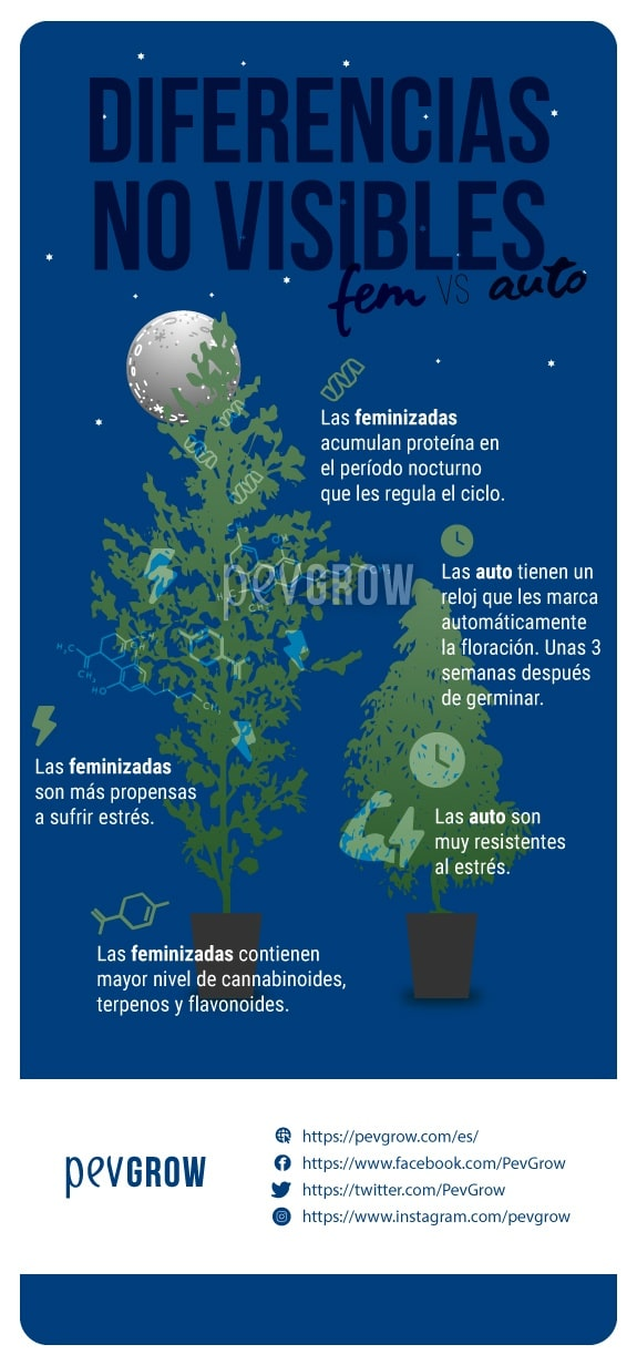 imagen que muestra las diferencias no visibles entre las feminizadas y las autoflorecientes*