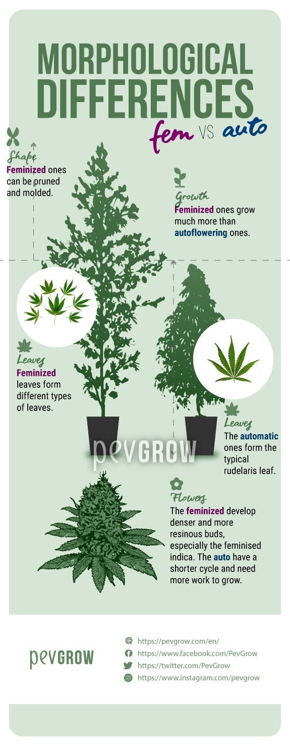 image showing morphological differences between autoflowering and feminized plants*