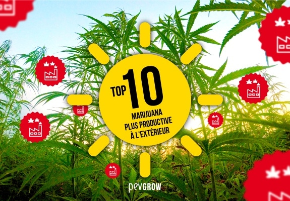 Top 10 Most Productive Marijuana Outdoors