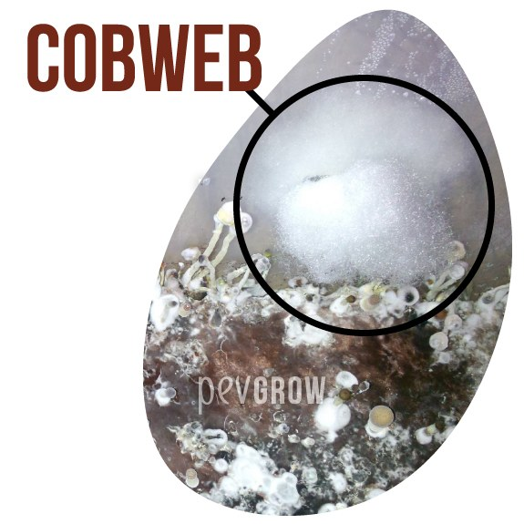 Picture of a Cobweb-type contamination*