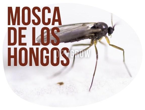 Imagen de una mosca Sciaridae sobre el sombrero de una seta*