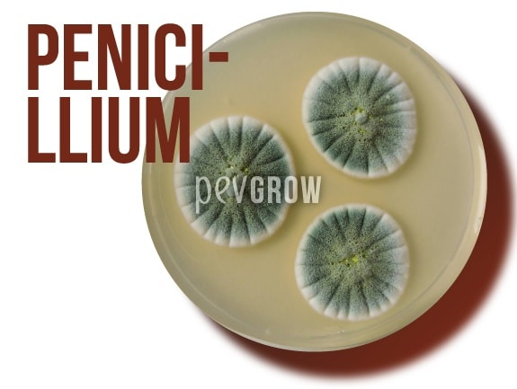 Picture of Penicillium fungus in full development*
