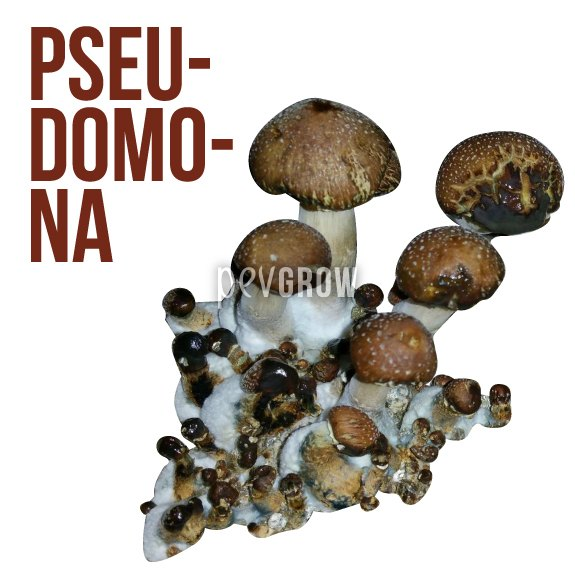 Picture of the damage caused by Pseudomona bacteria in a psilocybe*