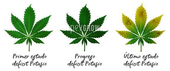 Imagen donde se puede apreciar la evolución de una falta de Potasio en las hojas del cannabis