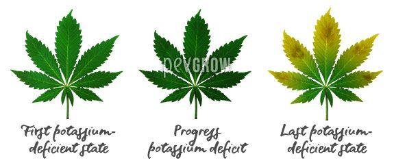 Image where you can see the evolution of a lack of Potassium in cannabis leaves