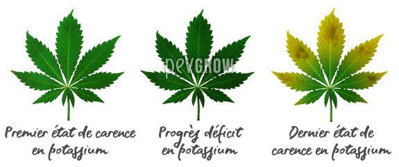 Image où vous pouvez voir l'évolution d'un manque de potassium dans les feuilles de cannabis