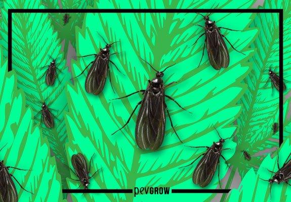 La plaga de la mosca negra en la marihuana