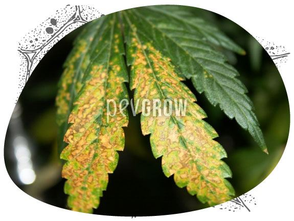 Image of a cannabis plant affected by a severe potassium deficiency*