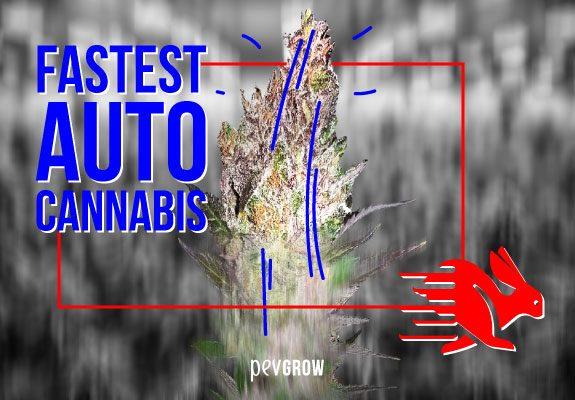 Fastest Autoflowering Cannabis