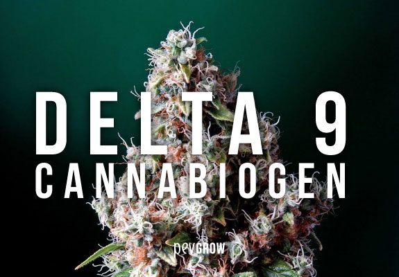 Bild einer wunderschönen Cannabispflanze mit dem Namen Delta 9 Cannabiogen darauf geschrieben
