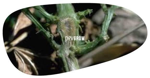 Image montrant le tronc d'une plante de cannabis infectée par F. Oxysporum*.