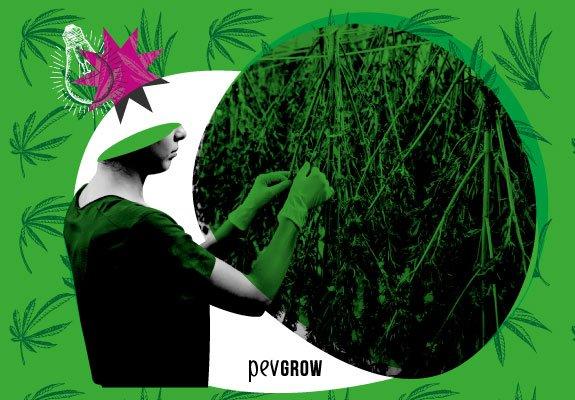 Cosecha de la Marihuana, toda la info