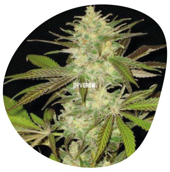 Imagen de una planta de cannabis a punto de cosechar*