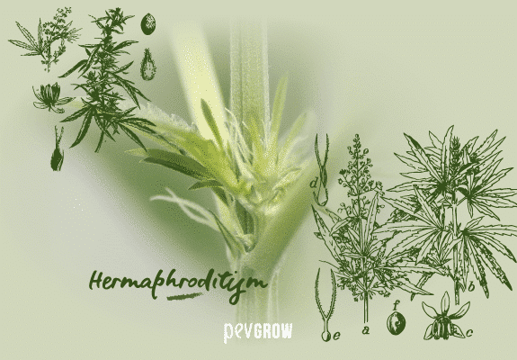 Detail of hermaphrodite marijuana plant with cannabis prints and sexual parts