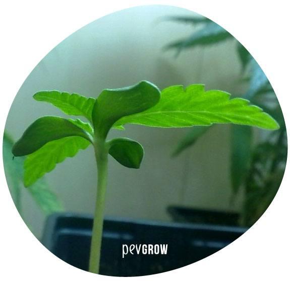 Planta con sintomas de Filotaxis verticilada