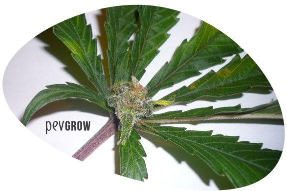 Planta con sintomas de Flores en las hojas