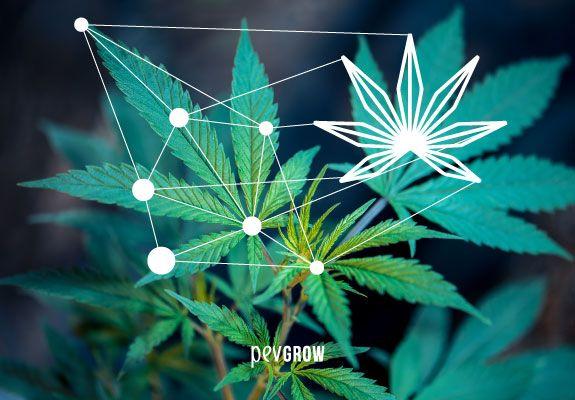 Imagen de varias hojas de marihuana entrelazadas por puntos