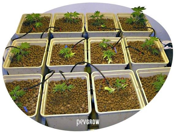 Bild eines hydroponischen Cannabis-Indoor-Anbaus*
