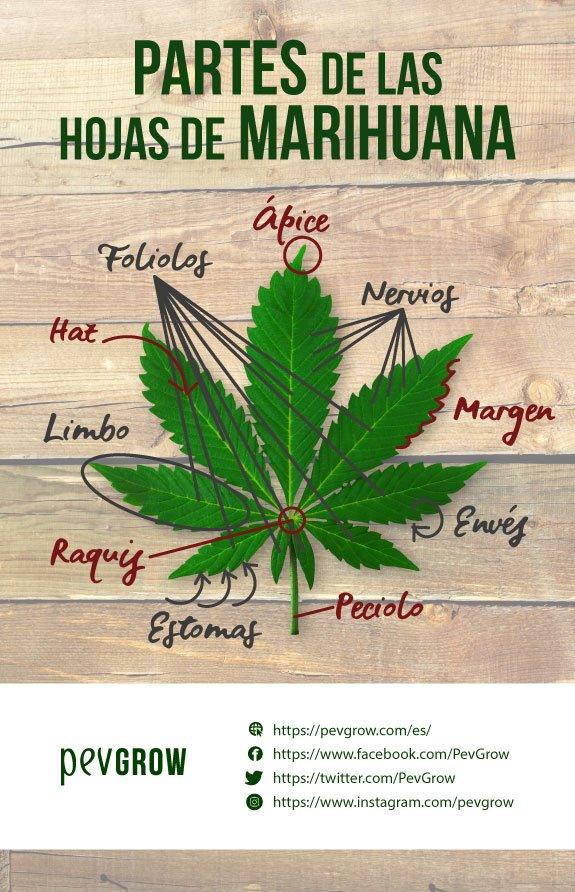 Imagen de un esquema que indica las diferentes partes que componen a una hoja de cannabis*